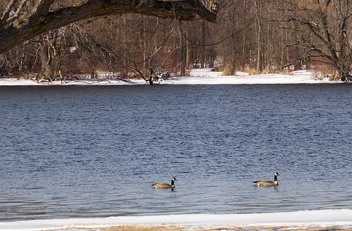 Geese in Spring