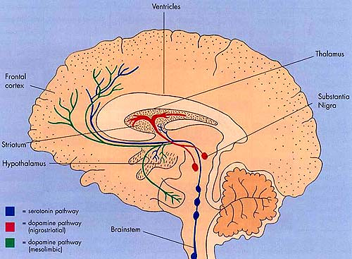 human brain diagram. cross-section human brain