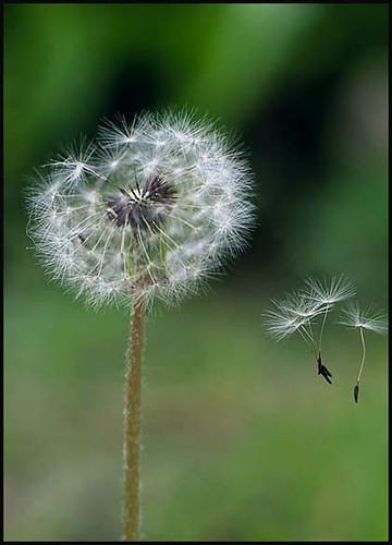Thêm một chút cho hoa Bồ Công Anh - By Boong Boong - Yahoo 360! 430193043_70b1d9c0ee
