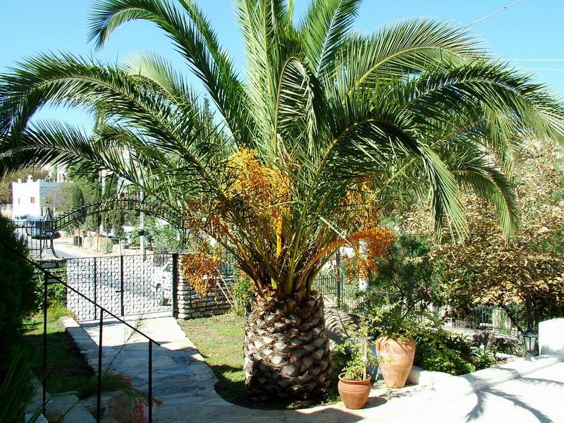 graines de palmiers phoenix canariensis lot de 10. Black Bedroom Furniture Sets. Home Design Ideas