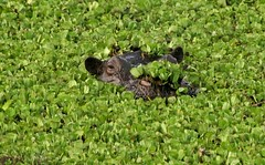 Comes with a Dinner Salad. (Picture Taker 2) Tags: africa nature animal animals closeup outdoors native wildlife hippo curious unusual wilderness plains upclose mammals wildanimals africaanimals masimarakenya