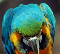 Taking a closer look at my lens (tammyjq41) Tags: bird bravo searchthebest cortez macaw zooatlanta 2007 tjs blueribbonwinner splendiferous supershot tjd specanimal anawesomeshot colorphotoaward impressedbeauty explore2007 goldenphotographer avianexcellence