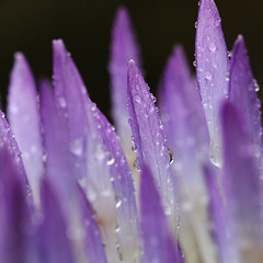 Crocus in an all day rain (wendymerle) Tags: rain drops herbs crocus perennial excellence iridaceae  corms abigfave