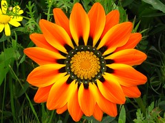 Gazania - גזניה (yoel_tw) Tags: orangeflower gazania soe orangeflowers flowerscolors abigfave גזניה bestofbestnature flowerwatcher goldstaraward wonderfulworldofflowers comesmelltheflowers