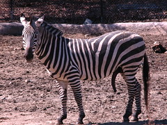 A VERY Happy Zebra! (Lara Mercer Photography) Tags: male animal zoo funny excited providence rhodeisland zebra erection