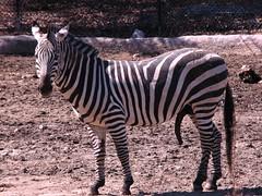 A VERY Happy Zebra! (Lara Mercer Photography) Tags: male animal zoo funny excited providence rhodeisland zebra erection