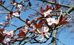PLUM BLOSSOMS (LISA M G) Tags: pink blue sky white canon eos rebel xt spring burgundy branches bluesky plumblossoms
