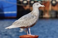 Glaucous Gull - Larus hyperboreus - Hvítmáfur