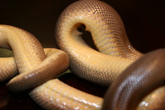 The Belly of the Boa (C-Brese) Tags: oregon snake rubber boa calabrese charina bottae cbrese