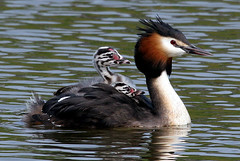 Fuut/Great Crested Grebe/Podiceps cristatus (Schapekop) Tags: holland bird netherlands birds spectacular europe nederland explore dordrecht fuut greatcrestedgrebe podicepscristatus parkstock oudelandshoek specanimal of top10nature niederlnde impressedbeauty superaplus aplusphoto unature unaturefav