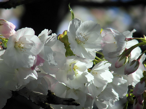 Blossoming in Stayton Oregon
