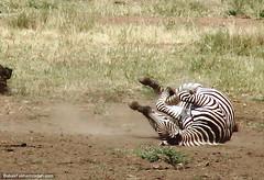 Frolicking zebra