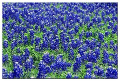Fields Of Blue (babybee) Tags: roadsideattraction bluebonnets blueandgreen lupinustexensis springhassprung blueribbonwinner seaofblue ilovespring thebeautyofspring fieldsofblue spring2007 anawesomeshot impressedbeauty buffaloclover karmanominated superbmasterpiece fotografikas fieldsofwildflowers fieldsofblues brightblueversion