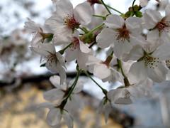 sake+blossom=pretty blur