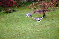 Vuelo. (raitana_mora) Tags: libertad volar parejadenadesazulones