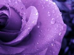 purple rose background (Brian A Petersen) Tags: flower rose garden purple brian drop petal dew petersen bpbp brianpetersen brianapetersen