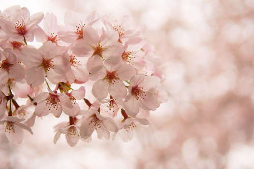cherry blossom flower. cherry blossoms in Japan.
