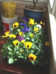 pansies to plant