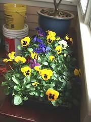 pansies to plant