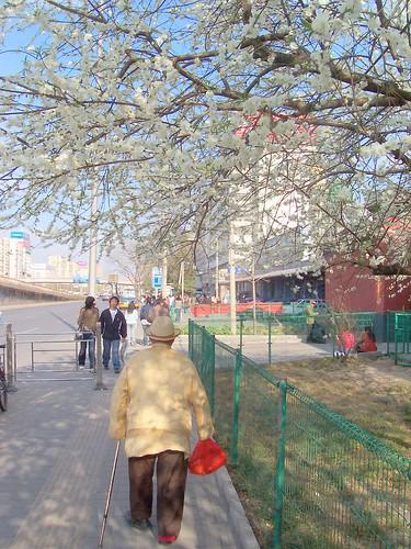 Beijingers in the blossom 2