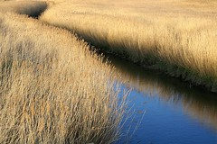 Norfolk Reeds (BigBean) Tags: trip travel blue wild england holiday nature water yellow creek swimming river reeds easter countryside mud weekend norfolk straw mysterious p coolest fens channel sinking drowning eastanglia brittain webbedfeet peopleschoice supershot abigfave ysplix explore34onmondayaugust202007 abbean