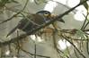 Plate-billed Mountain-Toucan (Michael Woodruff) Tags: bird southamerica birds toucan ecuador birding sa cloudforest tandayapa tandayapavalley platebilledmountaintoucan andigenalaminirostris nwecuador platebilled mountaintoucan andigena