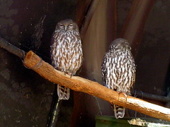 barking owls (Gethin Hill) Tags: bird minolta wildlife australian australia owl queensland konica birdofprey barkingowl currumbinsanctuary ninoxconnivens kd310z