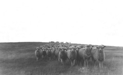 Sheep1 (scan) Vintage 1956 (rob.rudloff) Tags: southdakota sheep scenic badlands larsen