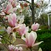 A Tulip tree in bloom in Albany.
