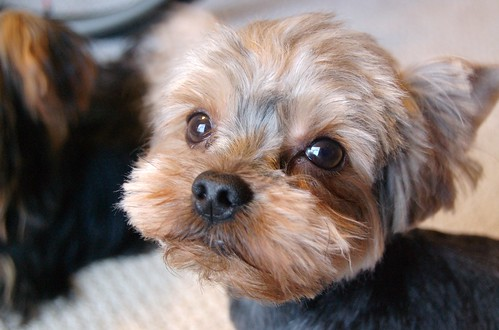 Haircuts For Yorkshire Terriers. Yorkshire terrier dog breeders