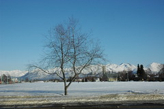 Tree on the Park Strip, Anchorage, Alaska April 207
