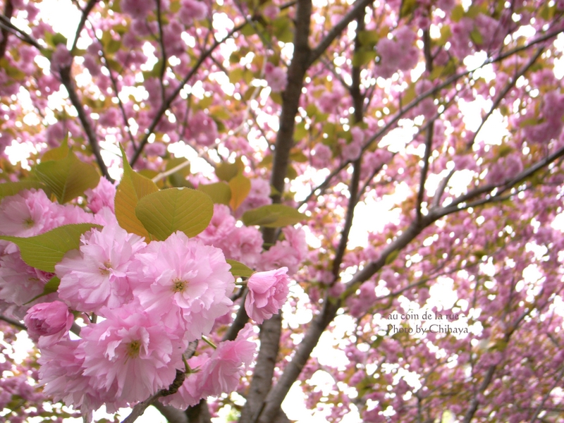 Eight-fold cherry flowers + 八重桜 +