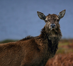 Red Deer (robbyuk/) Tags: uk mountain nature water animal fauna canon river landscape scotland waterfall highlands scenery stag ben wildlife north scene farmland glen deer burn glencoe loch grassland picturesque hdr inverness fortwilliam robroy nevis moorland wildanimals beutiful burnley lochy davidrobinson scottishhighlands ldr linnhe locharkaig arcaig fortwilliamscotlandscottishhighlandsglen rivercaig ahrefhttpwwwflickrcomgroupsblueribbonimgsrchttpfarm1staticflickrcom192505040398842abfd9c2ojpgayouareablueribbonwinnerifyouhaventdoneso pleaseaddyourphototobahrefhttpwwwflickrcomgroupsblueribbonaltblueribbonphotographya robbyuk