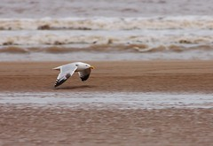 Herring Gull - by rogersanderson