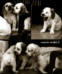GUESS WHAT THEY SAID. PUPPY STORY (COMIC) (mauricio cevallos www.mauriciocevallos.com) Tags: cute history dogs puppies comic sweet perros cachorros cocker