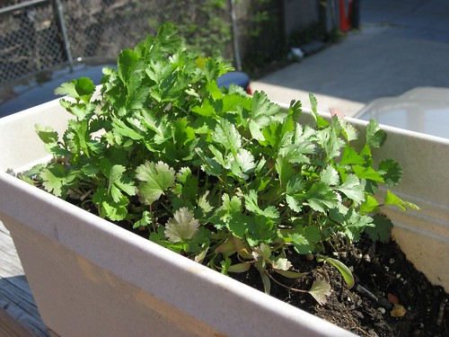 neighbors' cilantro