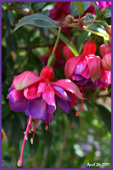 Fuschia (redhatgal ~ Barbara Butler/FireCreek Photography) Tags: ca flowers flower color garden spring bakersfield fushia kerncounty womenphotographers colorphotoaward isawyoufirst flowercolors diamondclassphotographer redhatgal kerncountyphotograhpers redhatal pinkforthecure