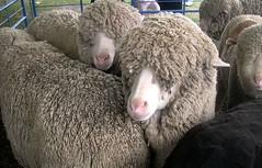 Sheepshearing10