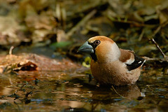Hawfinch (Coccothraustes coccotraustes) (m. geven) Tags: netherlands birds nikon bravo vogels d200 naturesfinest arnehm hawfinch 200400vr appelvink avianexcellence coccothraustescoccotraustes