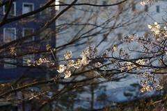 Sakura and the City (jasohill) Tags: pink 15fav flower tree colors japan cherry photography 350d japanese spring bravo blossoms iwate canon350d bloom 桜 cherryblossom 日本 木 viewing 東北 morioka tohoku 2007