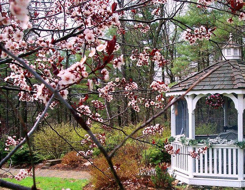 pink blossoms and gazebo
