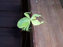 Leaf Insect by M0les, on Flickr