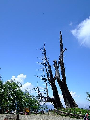 2007_0421_63夫妻樹