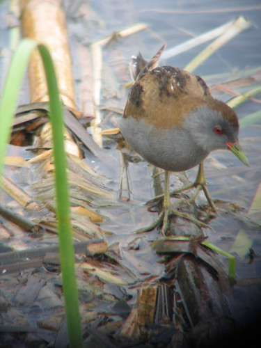male Little Crake