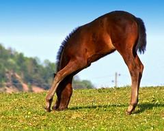 Little foal (Batram) Tags: horse topf25 germany flickr photos explore interestingness9 foal batram abigfave impressedbeauty superaplus aplusphoto goldenphotographer
