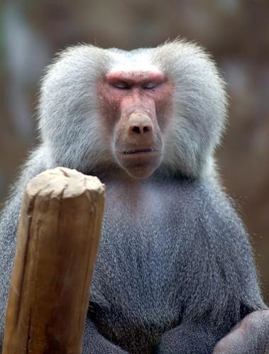Everland hamadryas baboon monkey by floridapfe.