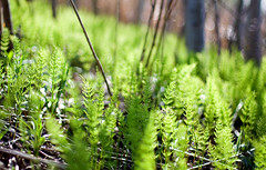 forest floor coming to life (-stacey-) Tags: new forest spring ferns bokehwhores wwwstaceykinkaidcom
