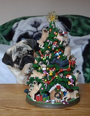 Boo And The Pug Christmas Tree (DaPuglet) Tags: pug puppy dog christmas tree funny cute lol pugchristmastree holiday pets pugs dogs animal animals pet littledoglaughedstories