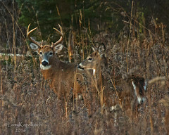 Handsome Couple (larry kapellusch) Tags: buck doe whitetail nature wildlife deer