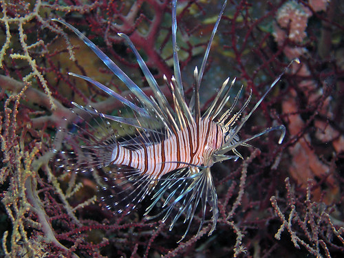 Red lionfish (Cebu, Philippines)